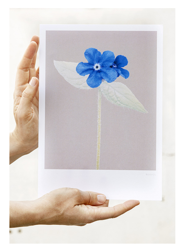 Forget-Me-Not 01, A4 Print